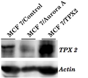 Western blot - Anti-TPX2 antibody [18D5-1] (ab32795)
