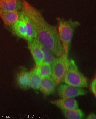 Immunocytochemistry/ Immunofluorescence - NOTCH4 antibody (ab33163)