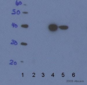 Western blot - LacI antibody [0.T.81] (ab33832)