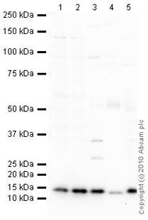 Western blot - Anti-COX IV antibody [mAbcam33985] - Mitochondrial Marker (ab33985)