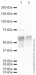 Western blot - Anti-RUNX1 / AML1 antibody (ab35962)
