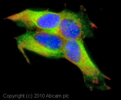 Immunocytochemistry/ Immunofluorescence - Anti-GABA Receptor Epsilon antibody (ab35971)