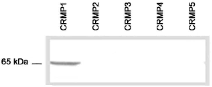 Western blot - CRMP1 antibody (ab36199)
