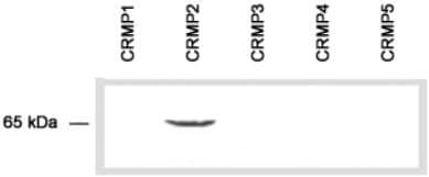 Western blot - CRMP2 antibody (ab36201)