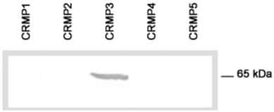 Western blot - CRMP3 antibody (ab36217)