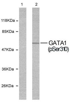 Western blot - GATA1 (phospho S310) antibody (ab36719)