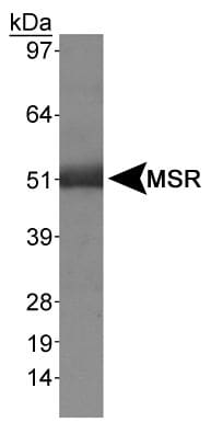 Western blot - Macrophage Scavenger Receptor I antibody (ab36998)