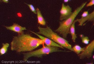 Immunocytochemistry/ Immunofluorescence - Anti-TWEAK antibody (ab37170)