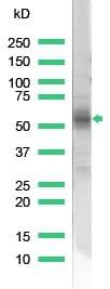 Western blot - CD2 antibody (ab37212)