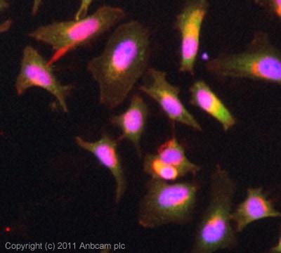 Immunocytochemistry/ Immunofluorescence - PACSIN2 antibody (ab37615)
