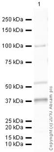 Western blot - TRPV4 antibody (ab39260)