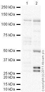 Western blot - Anti-Lgl1 antibody (ab39292)