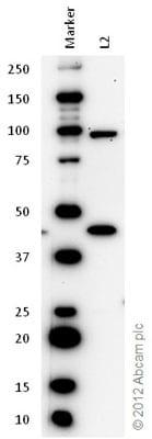 Western blot - Anti-Plzf antibody (ab39354)