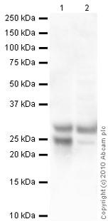 Western blot - Myelin Protein Zero antibody (ab39375)