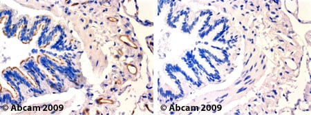 Immunohistochemistry (Formalin/PFA-fixed paraffin-embedded sections) - Anti-Caveolin-1 antibody (ab39541)