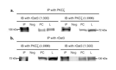 Western blot - PKC zeta antibody (ab4137)
