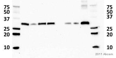 Western blot - Anti-CBR1 antibody (ab4148)