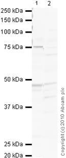 Western blot - Dopamine Receptor D1 antibody (ab40653)