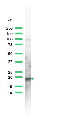 Western blot - Skp1 antibody (ab41865)