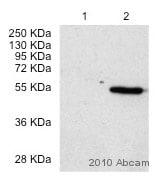 Western blot - LXR alpha antibody [PPZ0412] - ChIP Grade (ab41902)