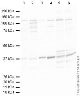 Western blot - Dact2 antibody (ab42377)