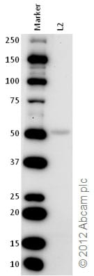 Western blot - Anti-SPIB antibody (ab42436)