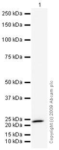 Western blot - CIB1 antibody (ab43133)