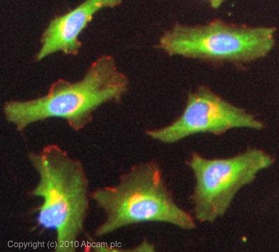 Immunocytochemistry/ Immunofluorescence-NEDD4-2 antibody(ab46521)