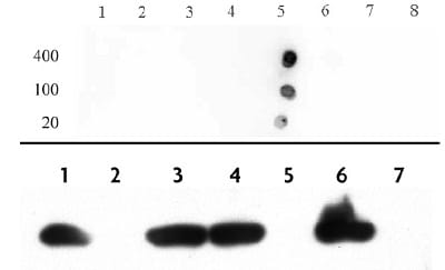 Dot Blot - Anti-Histone H4 (acetyl K12) antibody (ab46983)