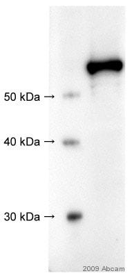Western blot - Src antibody (ab47405)