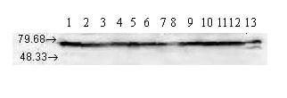 Western blot - Hsp70 antibody [N27F3-4] (ab47454)