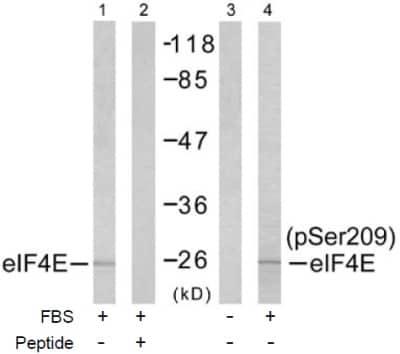 Western blot - eIF4E antibody (ab47481)
