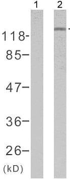 Western blot - Rb (phospho S807) antibody (ab47762)
