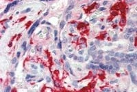 Immunohistochemistry (Formalin/PFA-fixed paraffin-embedded sections) - Iba1 antibody (ab48004)