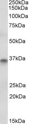 Western blot - CDX2 antibody (ab48009)
