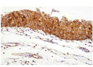 Immunohistochemistry (Formalin/PFA-fixed paraffin-embedded sections) - Hsp90 alpha antibody [4F10] (ab48022)