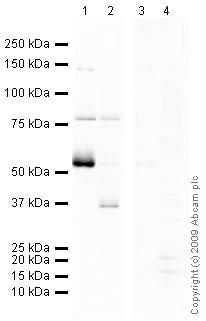Western blot - ENT1 antibody (ab48607)