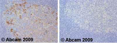 Immunohistochemistry (Formalin/PFA-fixed paraffin-embedded sections) - Anti-Ceruloplasmin antibody (ab48614)
