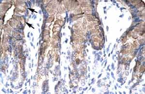 Immunohistochemistry (Formalin/PFA-fixed paraffin-embedded sections)-Anti-NUR77 antibody(ab48789)