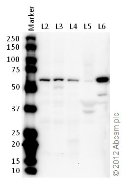 Western blot - Anti-Estrogen Related Receptor gamma antibody (ab49129)