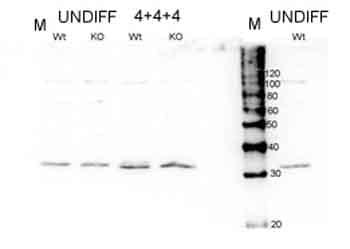 Western blot - Anti-Hes1 antibody (ab49170)