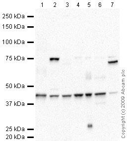Western blot - Biglycan antibody (ab49701)