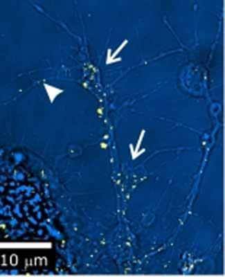 Immunocytochemistry/ Immunofluorescence - EGFR antibody [C-273] (ab49966)