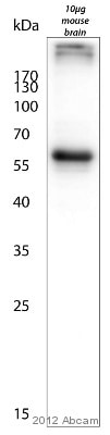 Western blot - Anti-MAP2 antibody - Neuronal Marker (ab5392)