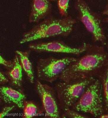 Immunocytochemistry/ Immunofluorescence - ATPB antibody [4.3E8.D10] (ab5432)