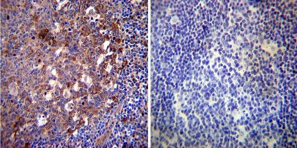 Immunocytochemistry - Anti-Hsp70 antibody [3A3] (ab5439)