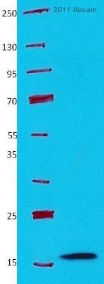 Western blot - Anti-Profilin 1 antibody - Carboxyterminal end (ab50667)