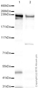 Western blot - heavy chain cardiac Myosin antibody [BA-G5] (ab50967)