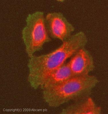 Immunocytochemistry/ Immunofluorescence-Ret antibody(ab51122)