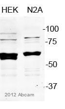 Western blot - Anti-PDCD4 antibody (ab51495)